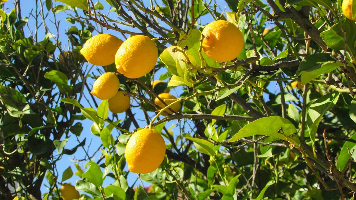 Alberi di limoni con frutti